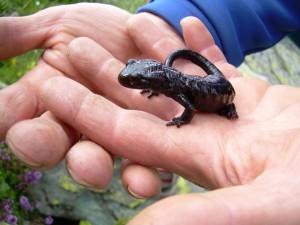 2) Salamandra Lanzai